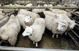 Sheep prices: higher prices lift weekly kill