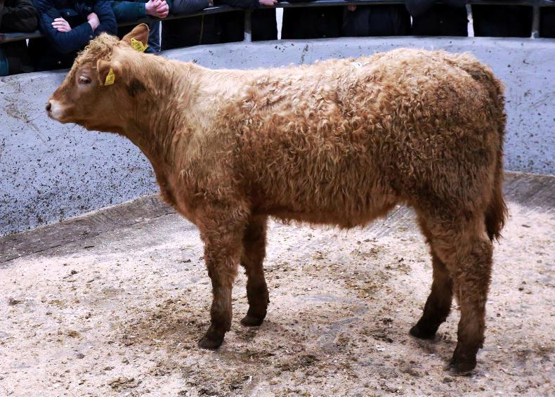 This Salers-cross bull, born May 2017 and weighing 295kg, sold for €900 (€3.05/kg).