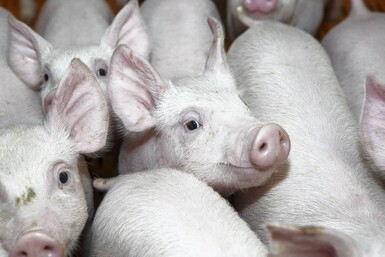 Pig prices: Chinese tariffs may present opportunity