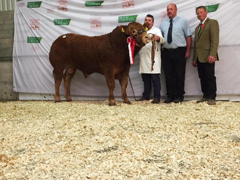 Gerrygullinane Maxibull, junior champion at the May 2018 Limousin premier sale