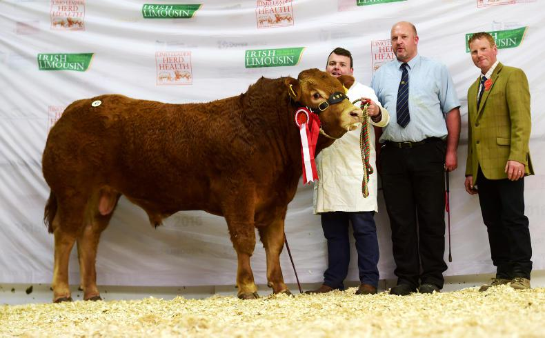 Junior champion Gerrygullinane Maxibull, which sold for €5,000. \ Alfie Shaw