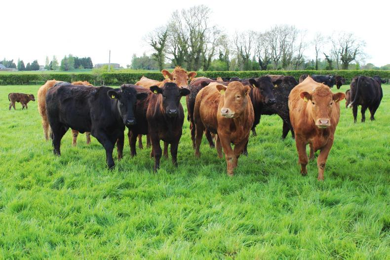 Replacement heifers calved to a new Angus stock bull in 2018.