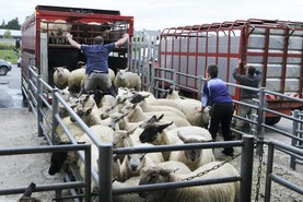 CLP for sheep has not gone away