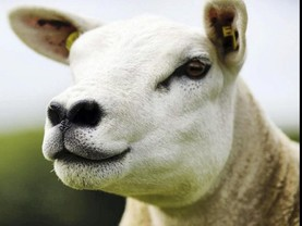 Want to win a double five-star pedigree Texel ewe?