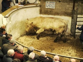Beef cattle prices up €55\head on last year
