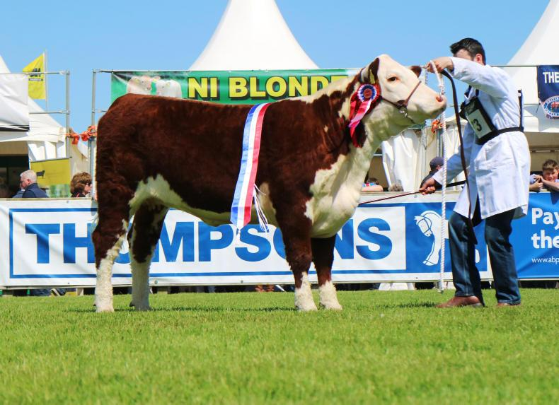 Hereford champion Solpoll 1 Perfection ET.