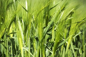 Spring barley aphicides and winter wheat T2s