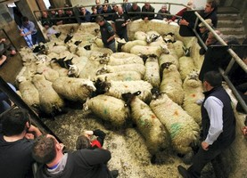 Fleshed lambs and ewes with lambs in demand